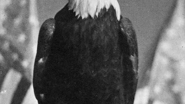 The bird shown above accompanied Chippewa Valley soldiers into the Civil War, was named after Abraham Lincoln and became a mascot for much of the Northern Army. What has your bird done?