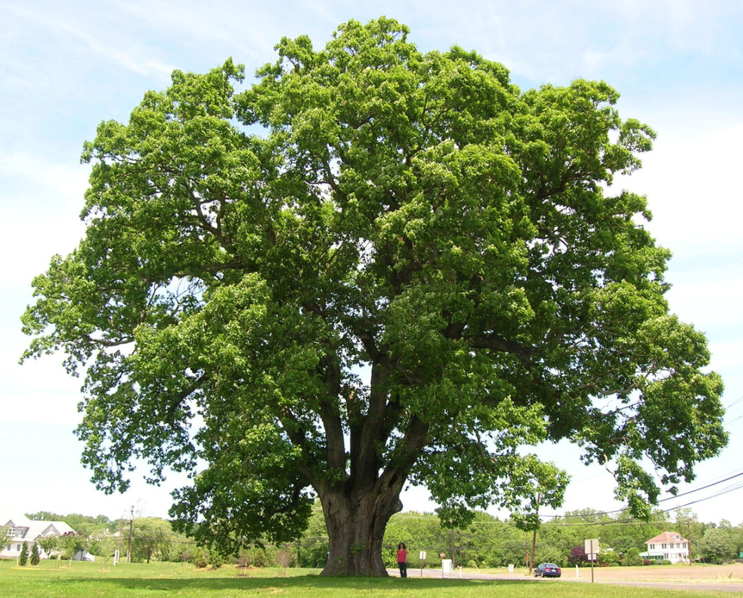 This tree is an oak tree. Image: Creative Commons