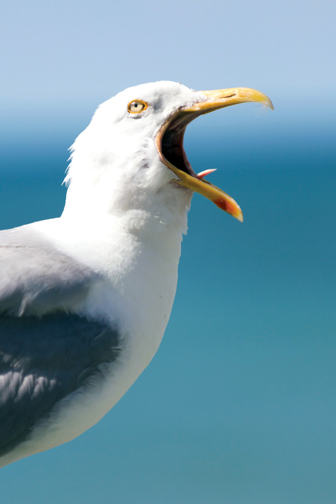 A seagull (shown here screeching).