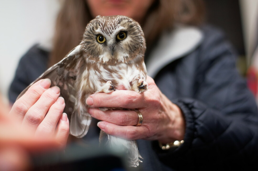 HOO THINKS WE SHOULD JUST WING IT? Northern Saw-whet Owl migration is underway and the Beaver Creek Bird Banders are once again opening the banding station at Beaver Creek Reserve, allowing you to see the charismatic night flyers. The first session was held Oct. 12. A second session is planned for Oct. 20.