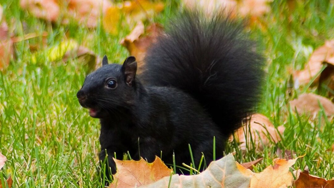 Do a bunch of black squirrels make a capital? Norwalk, Wisconsin thinks so.
