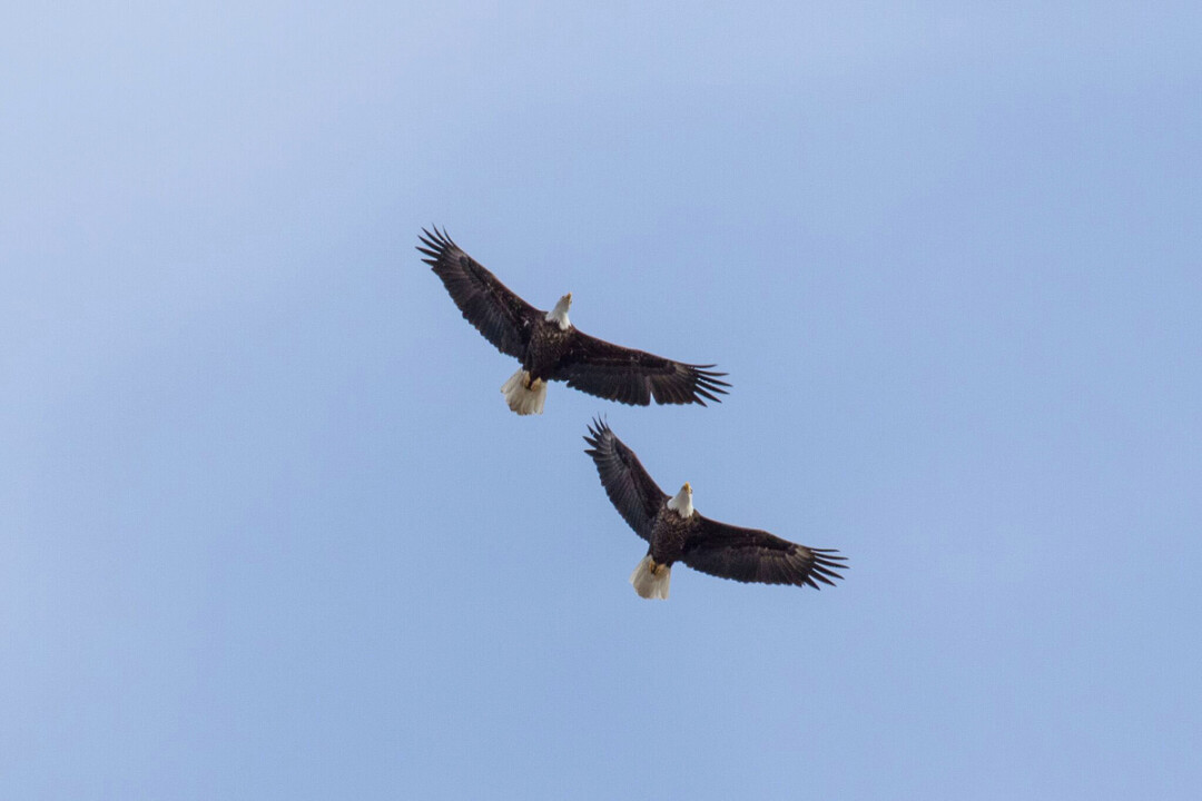 Bald eagles soar near Wabasha, Minnesota.