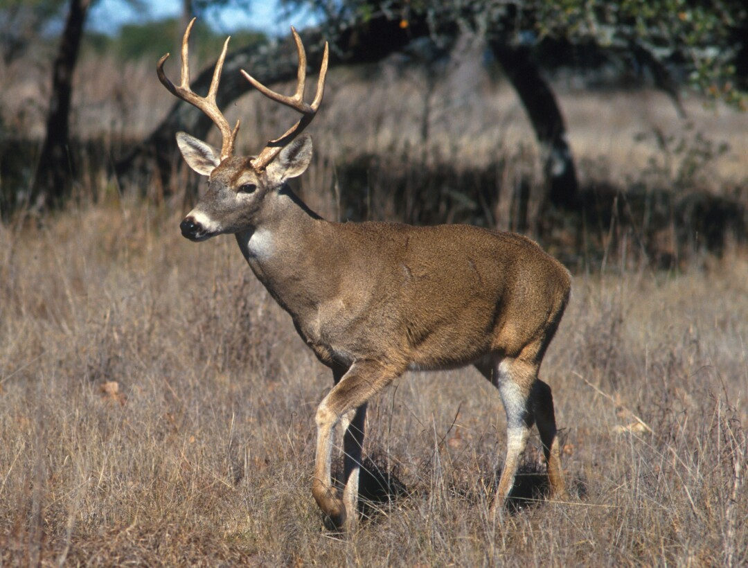 White-Tailed Deer (Image: USDA photo by Scott Bauer)